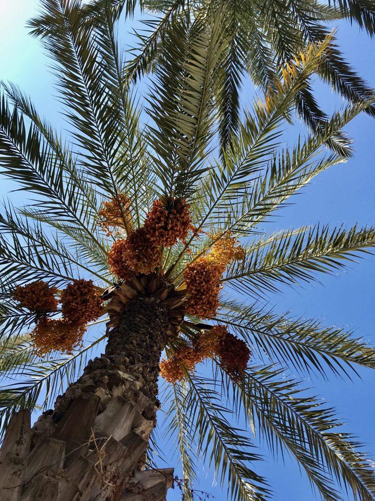 Palmbomen in overvloed