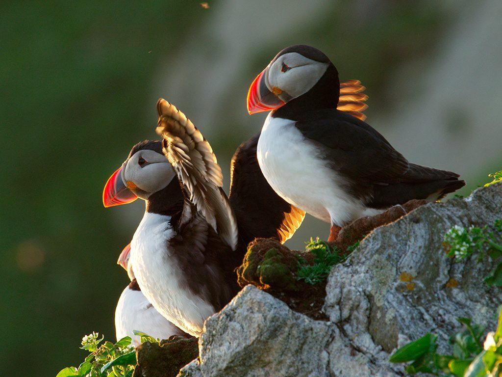 Papegaaiduikers in IJsland op Grimsey