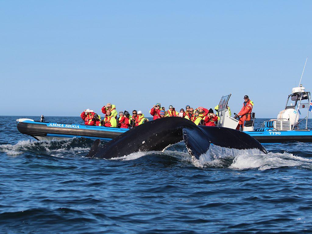 Walvissen spotten in Husavik IJsland