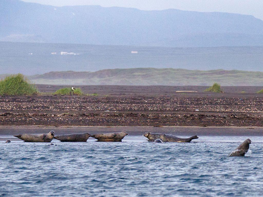 Zeehonden spotten in IJsland in Hvammstangi